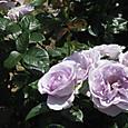うす紫のバラ